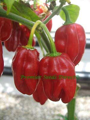 Organic Vegetable  Hot Chilli Pepper Habanero Red  60 Seeds