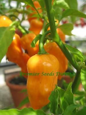 Organic Vegetable  Hot Chilli Pepper Habanero Orange  60 Seeds