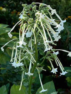 Flower Nicotiana Affinis Alba 0.65 Gm ~ 5167 Seeds Flowering Tobacco