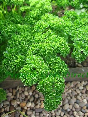 Organic Parsley Triple Moss Curled 2 -  4 Gm ~ Approx 2100 Seeds