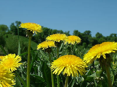 Wild Flower Dandelion 0.85Gm Approx 1000 Seeds Taraxacum Officinale