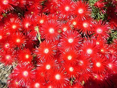 PIG FACE. Mesembryantheum. PIGFACE x 1 RED PLANT. Pick your own COLOURS!!!