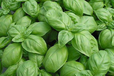 Herb - Basil - Genovese - 2.05 Gram ~ Approx 1200 Finest Seeds ** Free Uk P&p**