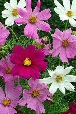 Flower Cosmos Sensation Mix  750 Flower Seeds
