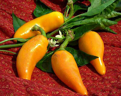 Vegetable  Hot Chilli Pepper Orzoco 80 Finest Seeds