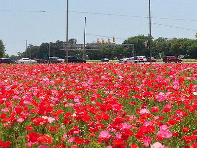 Flower Corn Field Poppy Mixed 2Gm ~ 14,000 Finest Seeds