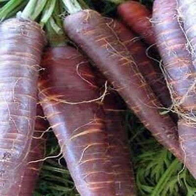 Carrot Cosmic Purple  3 Gram ~ 3200 Finest Seeds