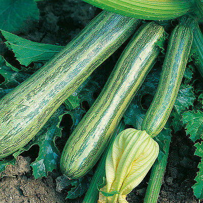 Vegetable  Courgette Striato D'italia  40 Finest Seeds