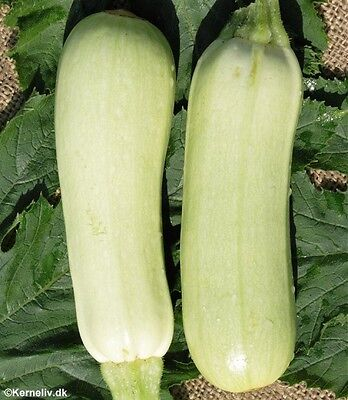 Vegetable  Courgette Bianca Di Trieste  25 Finest Seeds