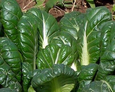 Vegetable  Mustard Tatsoi  1.5Gm ~ 600 Seeds