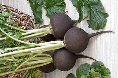 Vegetable  Radish Black Spanish Round  20 Gram ~ Approx 1680 Seeds