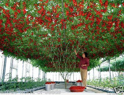 Russian Tomato Seeds - Grow Your Own Tomato Tree ! 1500 Kg Fruits From 1 Plant