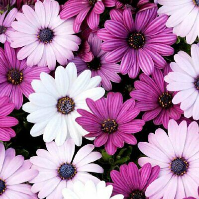 Osteopermum African Daisy Seeds Perennial Hardy Every Year White Blue Centre