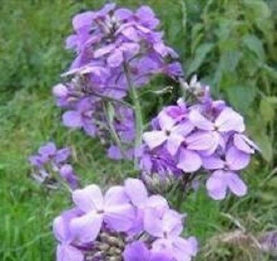 Hesperis - Matronalis Purple - 500 Seeds
