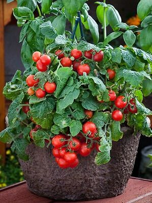 Tomato Dwarf Variety Red Robin 100 Finest Seeds