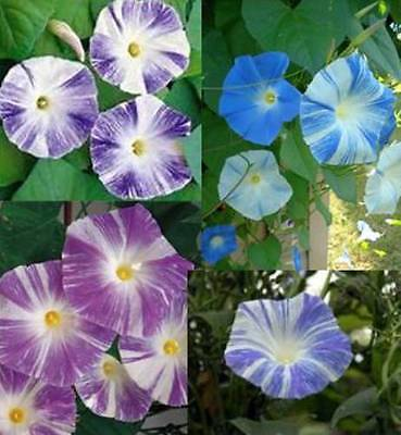 Flower Morning Glory Ipomoea Flying Saucer Mix 160 Seeds