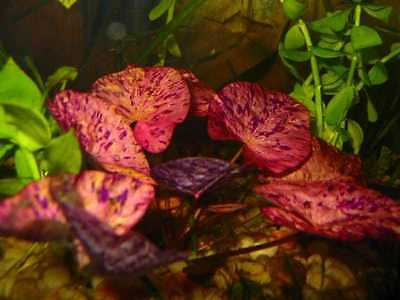 tiger lotus red nenuphar nymphea lotus rouge tigré demaré plante aquarium discus