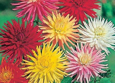 Flower Dahlia Cactus Hybrids Mixed  130 Finest Seeds