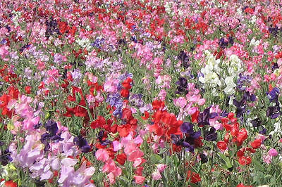 Flower Sweet Pea Dwarf Knee High Mix 125 Flower Seeds