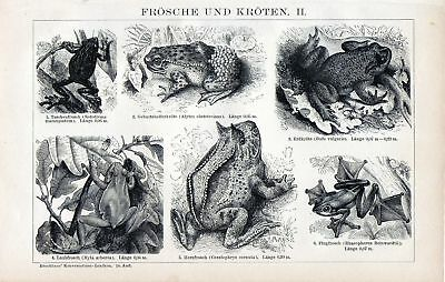 Antique print frog frogs toad Bufonidae 1893 kikker
