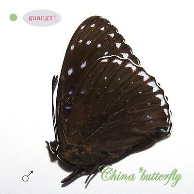 unmounted butterfly Nymphalidae Stibochiona nicea nicea GUANGXI SPRING FORM A1