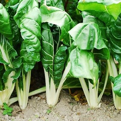Vegetable  Swiss Chard Fordhook Giant  425 Seeds