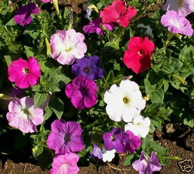 Flower Petunia Nana Compacta Mixed 2000 Finest Seeds