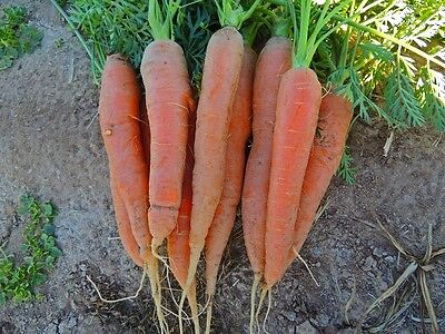 Vegetable  Carrot  Early Nantes 2  850+ Pelleted Seeds