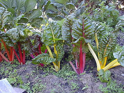 Vegetable  Swiss Chard Rainbow Mix 10 Gram ~ 470 Finest Seeds