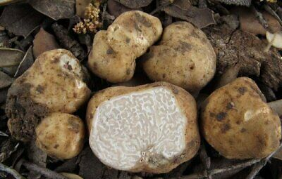 White Tuber Truffle Mushroom Growing Spawns Seeds - Best Delicatesse Ever