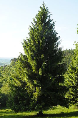 Norway Spruce, Picea abies, Tree Seeds (Evergreen, Fast)