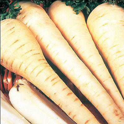 Vegetable  Parsnip White Gem  2600 Finest Seeds