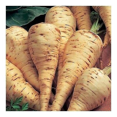 Vegetable  Parsnip Guernsey  1500 Finest Seeds