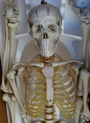 Model Anatomy Professional Medical Skeleton | 67"