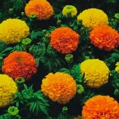Flower African Marigold Crackerjack Mixed  1000 Flower Seeds