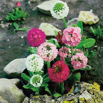 Primula - Denticulata Hybrids Mixed - 50 Seeds