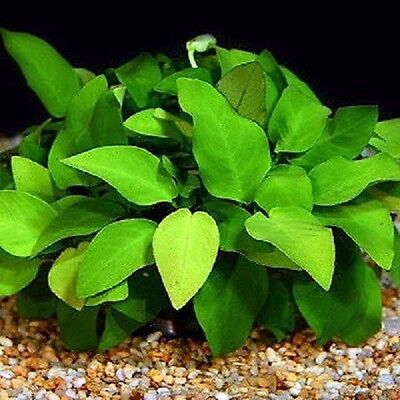 anubia nana   6/8 feuilles minimum  plante aquarium  facile tres robuste