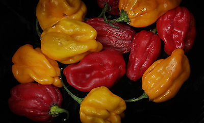 Vegetable  Hot Chilli Pepper Numex Suave Orange   40 Finest Seeds
