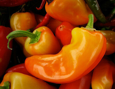 Vegetable  Hot Chilli Pepper Jalapeno Orange  100 Finest Seeds