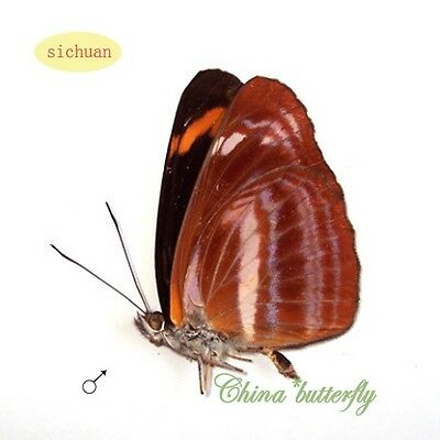 5 unmounted butterfly Nymphalidae Neptis namba #x21  A1-   A-