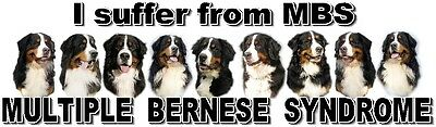 """""""I Suffer from  MULTIPLE  BERNESE  SYNDROME"""" Dog Car Sticker by Starprint"""