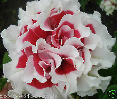 Russian Petunia Seeds Double Red And White Flowers F1 Hybrids