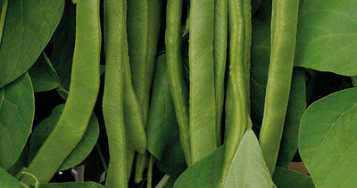 Vegetable  Runner Bean   Polestar  Stringless Variety  55 Seeds