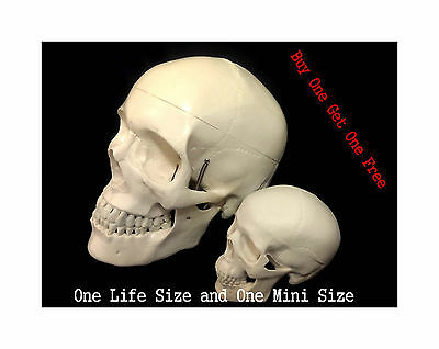 Professional Full Size Human+High Simulation Mini Size Classic Human Skull Model