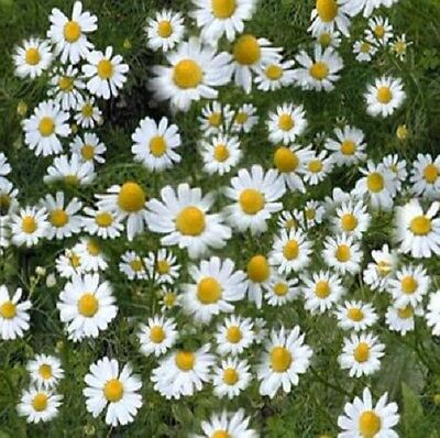 Herb - Chamomile German - 10,000 Seeds
