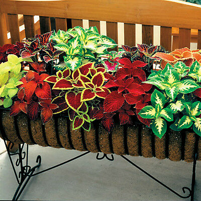 Flower Coleus Wizard Mix Solenostemon Stunning Foliage 700 Finest Seeds