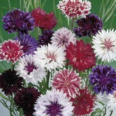 Flower Corn Flower Frosty Mix 1300 Finest Seeds  Annual