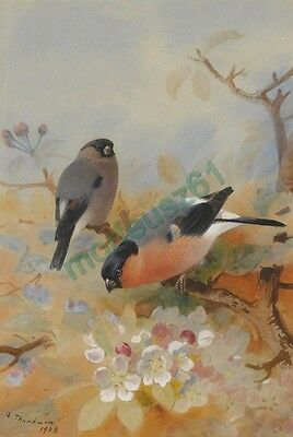 Reproduction Print on A4 - Archibald Thorburn - Bullfinches
