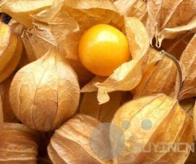 Chinese Lantern Plant  seed 40 Seeds Vegetable  fruit  garden yard patio balcony