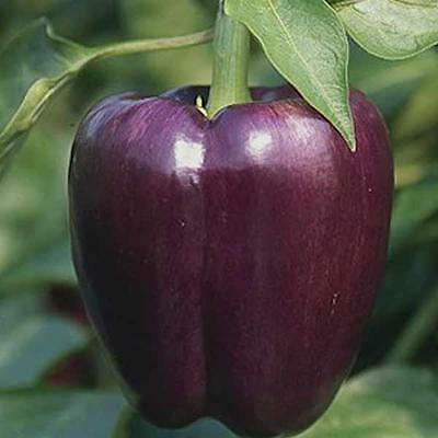 Sweet Pepper - Purple Beauty - 50 Finest Seeds - Organic